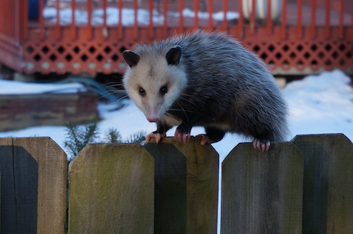 Wordless Wednesday:  Possum on my Fence!