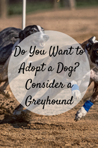 Do You Want To Adopt A Dog in Adelaide? Consider A Greyhound